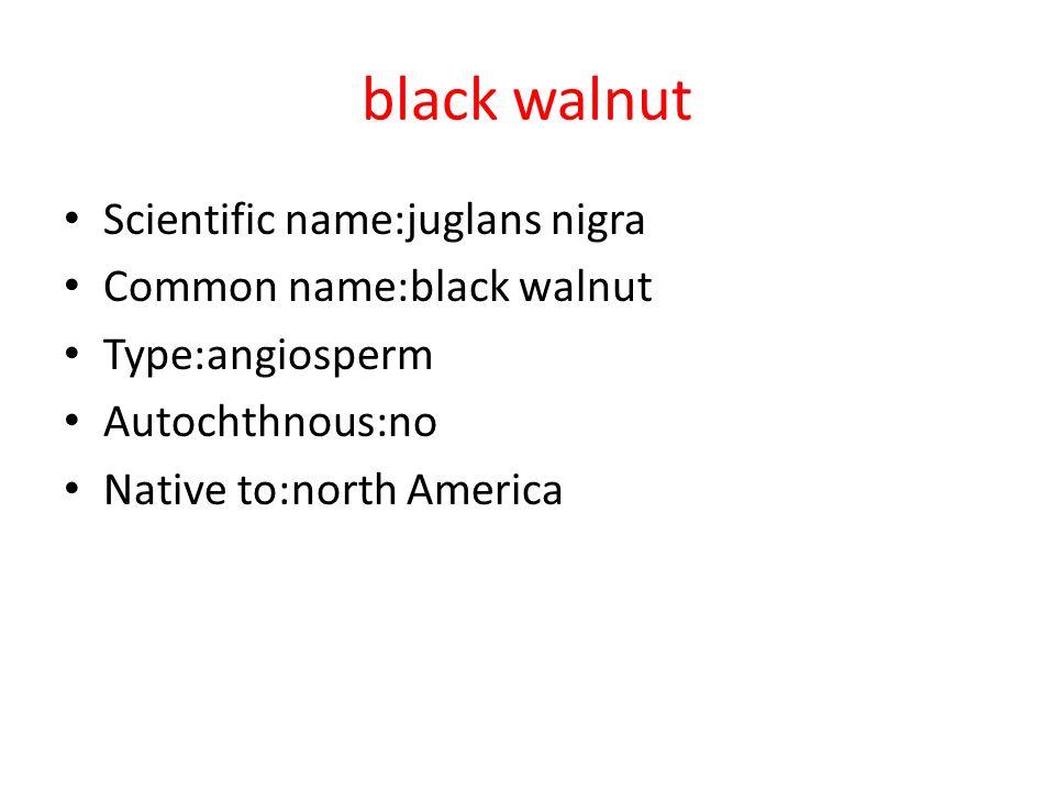 black walnut Scientific name:juglans nigra Common name:black walnut