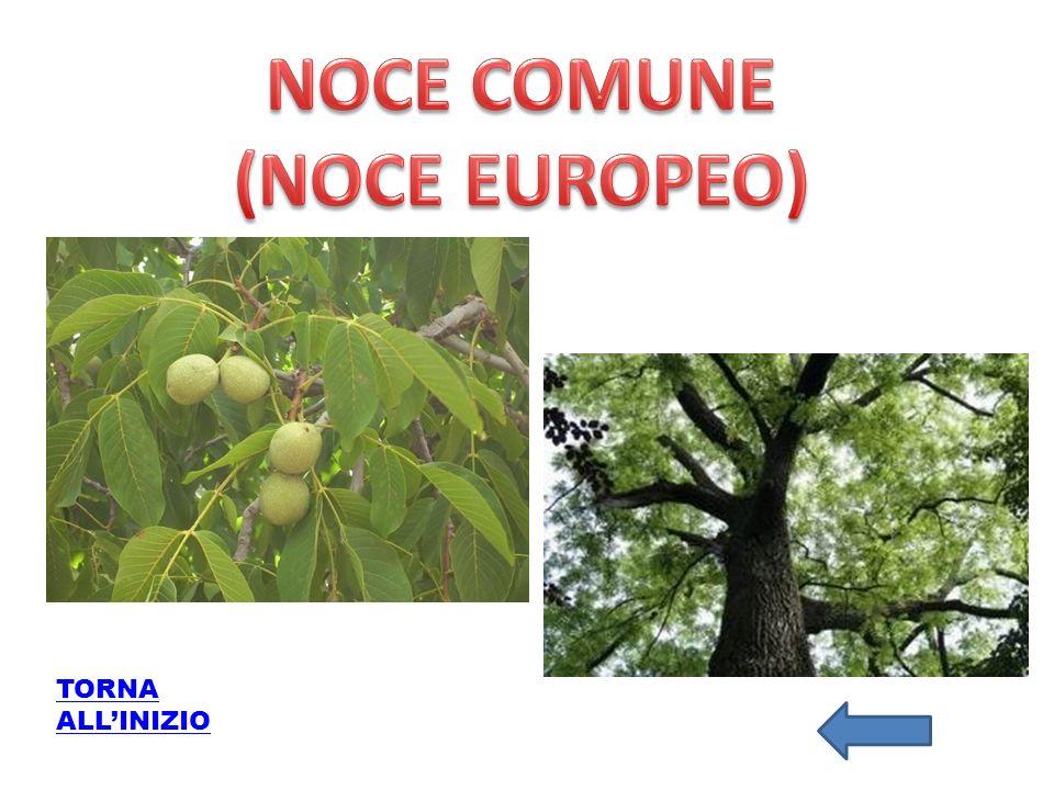NOCE COMUNE (NOCE EUROPEO)