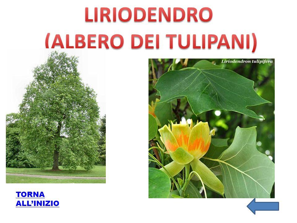 LIRIODENDRO (ALBERO DEI TULIPANI)