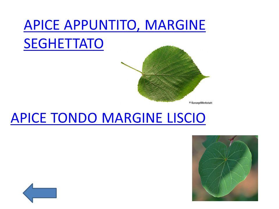 APICE TONDO MARGINE LISCIO