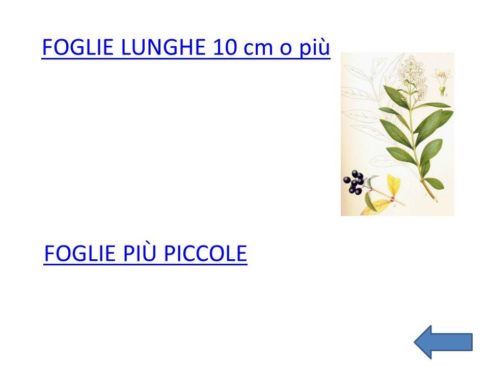 FOGLIE LUNGHE 10 cm o più Foglie più piccole