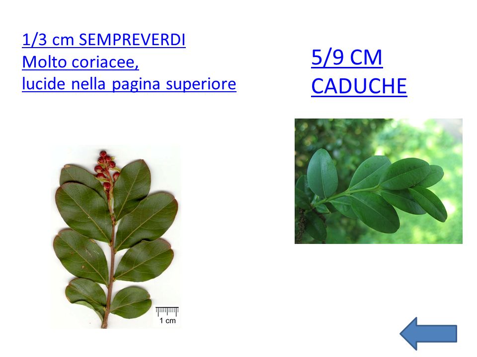 5/9 cm CADUCHE 1/3 cm SEMPREVERDI Molto coriacee,