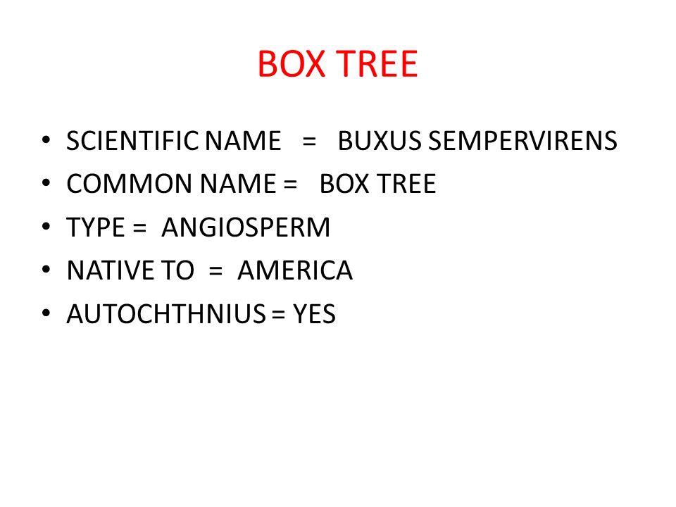 BOX TREE SCIENTIFIC NAME = BUXUS SEMPERVIRENS COMMON NAME = BOX TREE