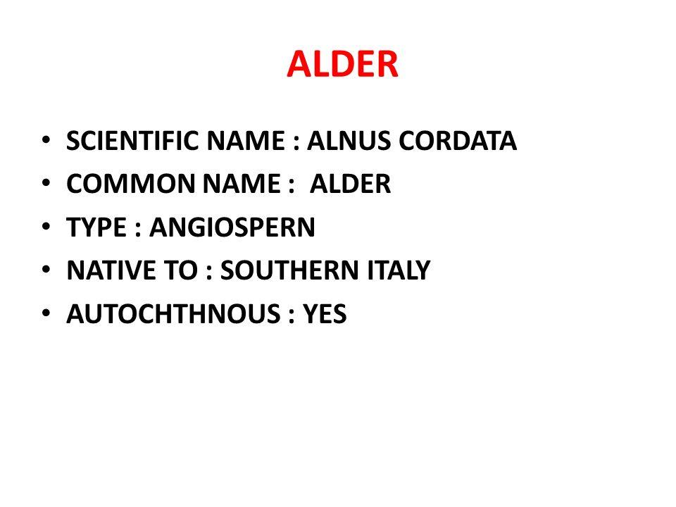 ALDER SCIENTIFIC NAME : ALNUS CORDATA COMMON NAME : ALDER