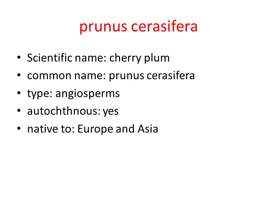 prunus cerasifera Scientific name: cherry plum