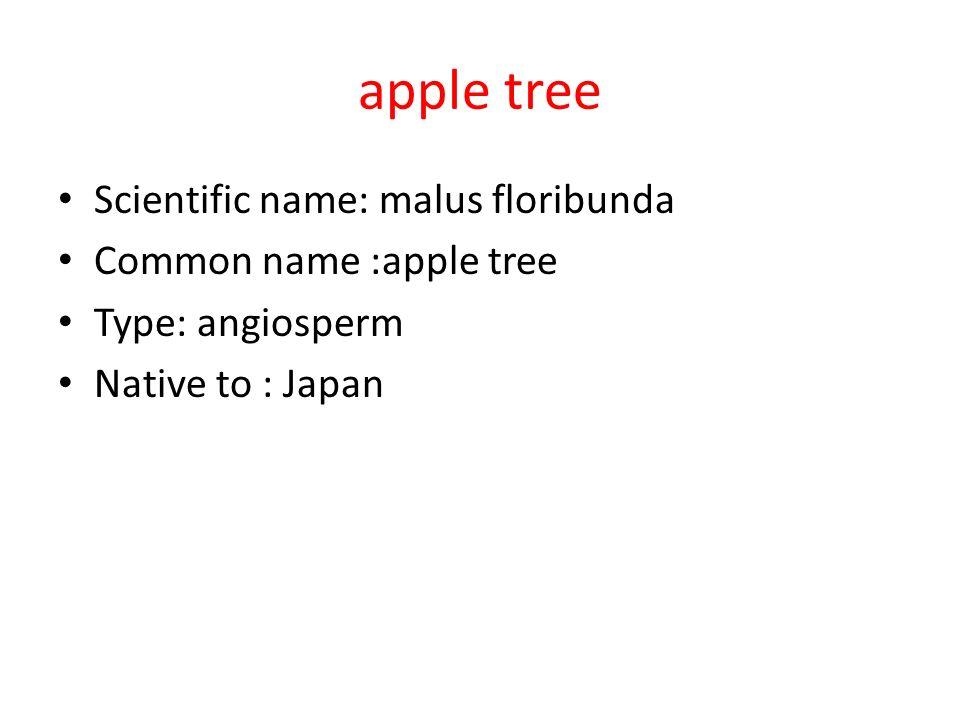 apple tree Scientific name: malus floribunda Common name :apple tree