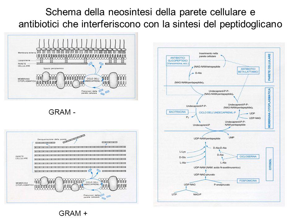 Schema della neosintesi della parete cellulare e