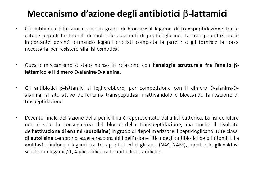 Meccanismo d'azione degli antibiotici -lattamici