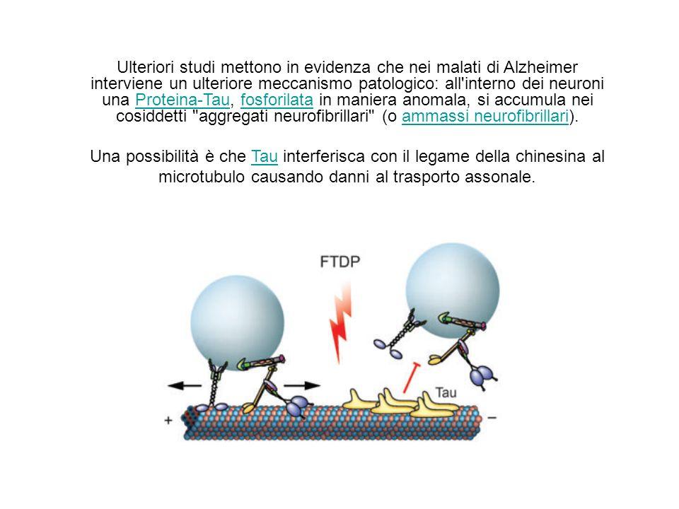 Ulteriori studi mettono in evidenza che nei malati di Alzheimer interviene un ulteriore meccanismo patologico: all interno dei neuroni una Proteina-Tau, fosforilata in maniera anomala, si accumula nei cosiddetti aggregati neurofibrillari (o ammassi neurofibrillari).