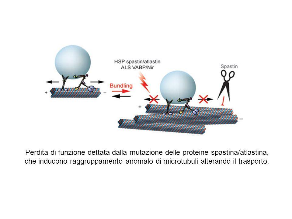 Perdita di funzione dettata dalla mutazione delle proteine spastina/atlastina, che inducono raggruppamento anomalo di microtubuli alterando il trasporto.