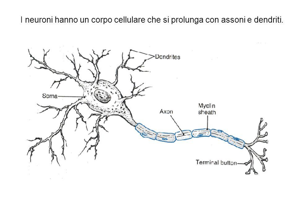 I neuroni hanno un corpo cellulare che si prolunga con assoni e dendriti.