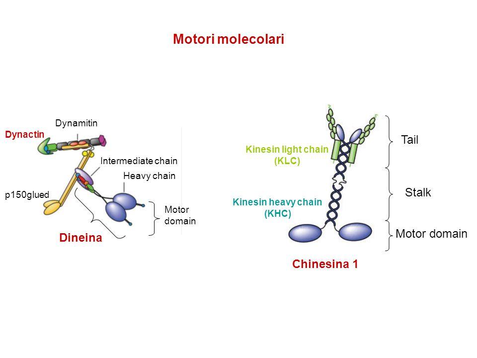 Motori molecolari Tail Stalk Motor domain Dineina Chinesina 1