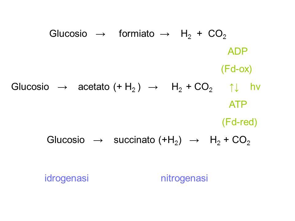 Glucosio → succinato (+H2) → H2 + CO2
