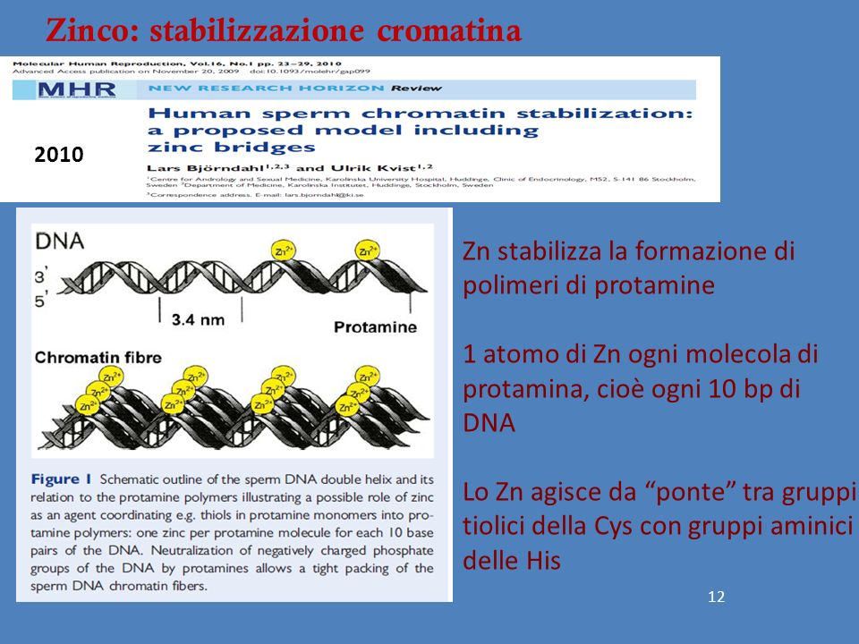 Zinco: stabilizzazione cromatina