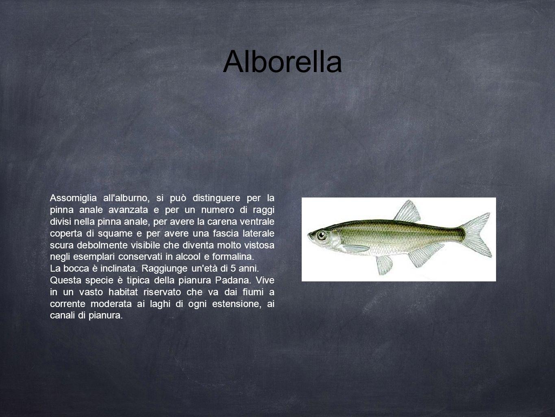 Alborella