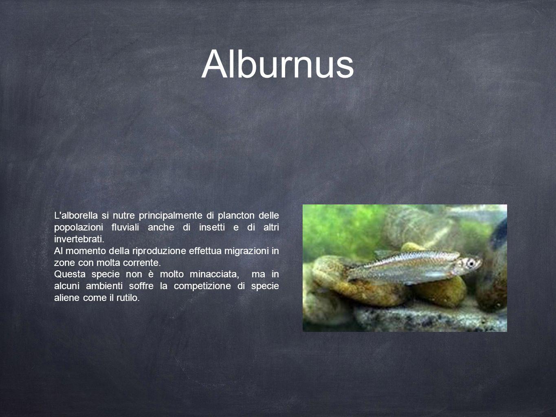 Alburnus L alborella si nutre principalmente di plancton delle popolazioni fluviali anche di insetti e di altri invertebrati.