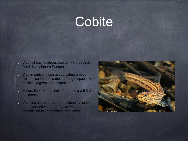 Cobite Vive nel bacino idrografico del Po e degli altri fiumi della pianura Padana.