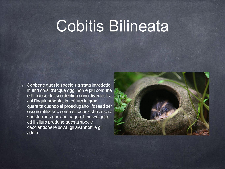 Cobitis Bilineata