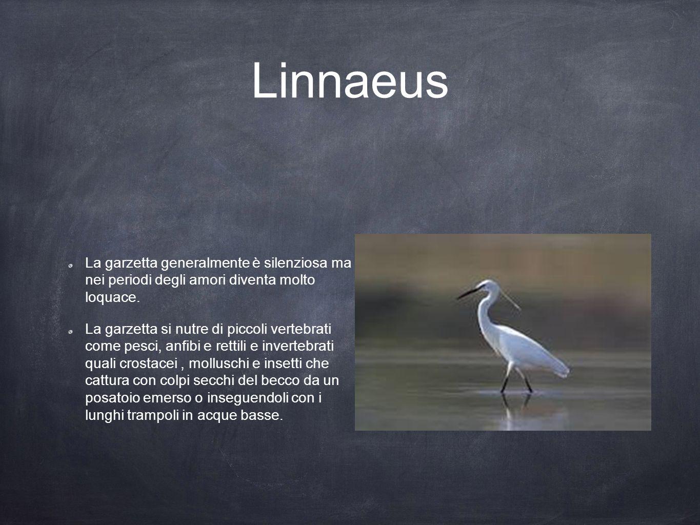 Linnaeus La garzetta generalmente è silenziosa ma nei periodi degli amori diventa molto loquace.
