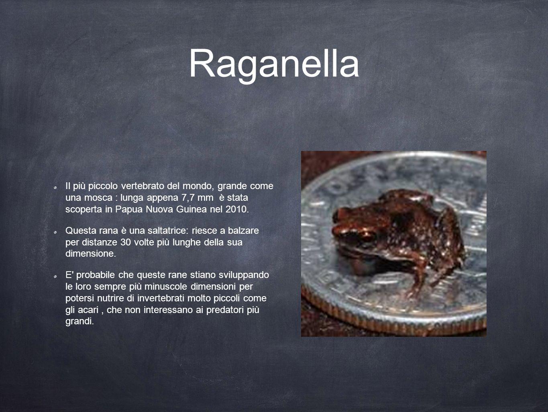 Raganella Il più piccolo vertebrato del mondo, grande come una mosca : lunga appena 7,7 mm è stata scoperta in Papua Nuova Guinea nel 2010.