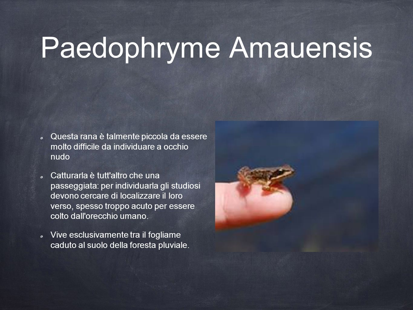 Paedophryme Amauensis