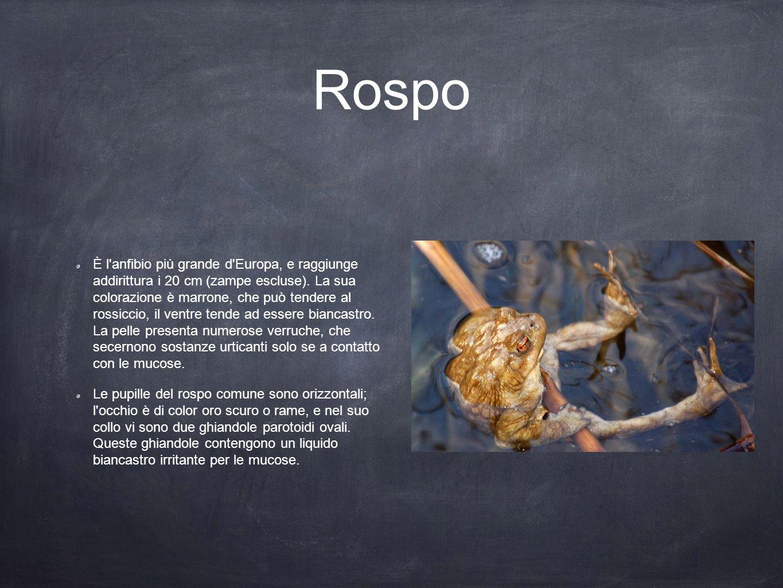 Rospo