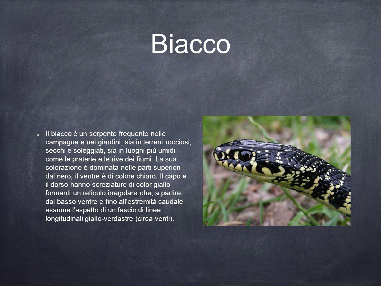 Biacco