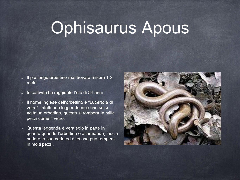 Ophisaurus Apous Il più lungo orbettino mai trovato misura 1,2 metri.