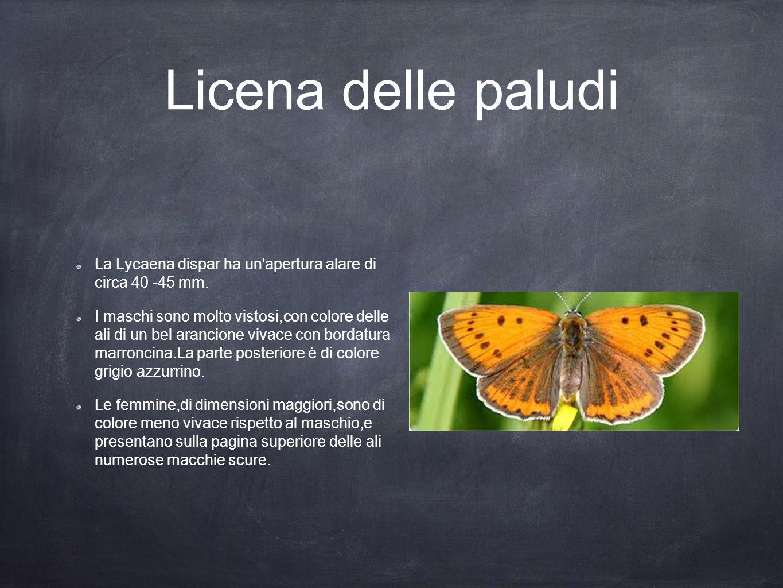 Licena delle paludi La Lycaena dispar ha un apertura alare di circa 40 -45 mm.