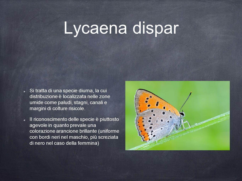 Lycaena dispar