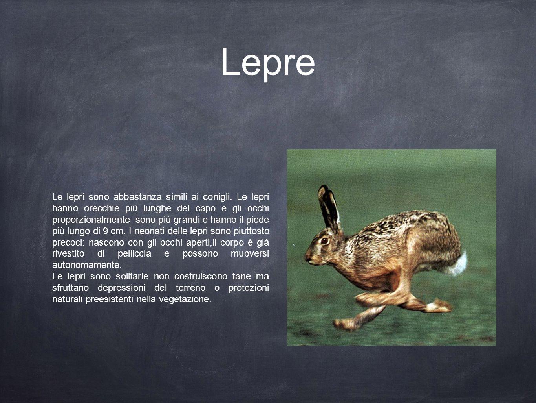 Lepre