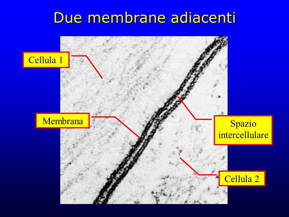 Due membrane adiacenti
