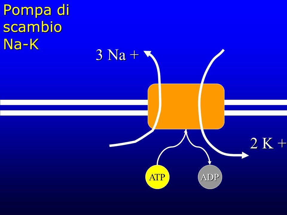 Pompa di scambio Na-K 3 Na + 2 K + ATP ADP