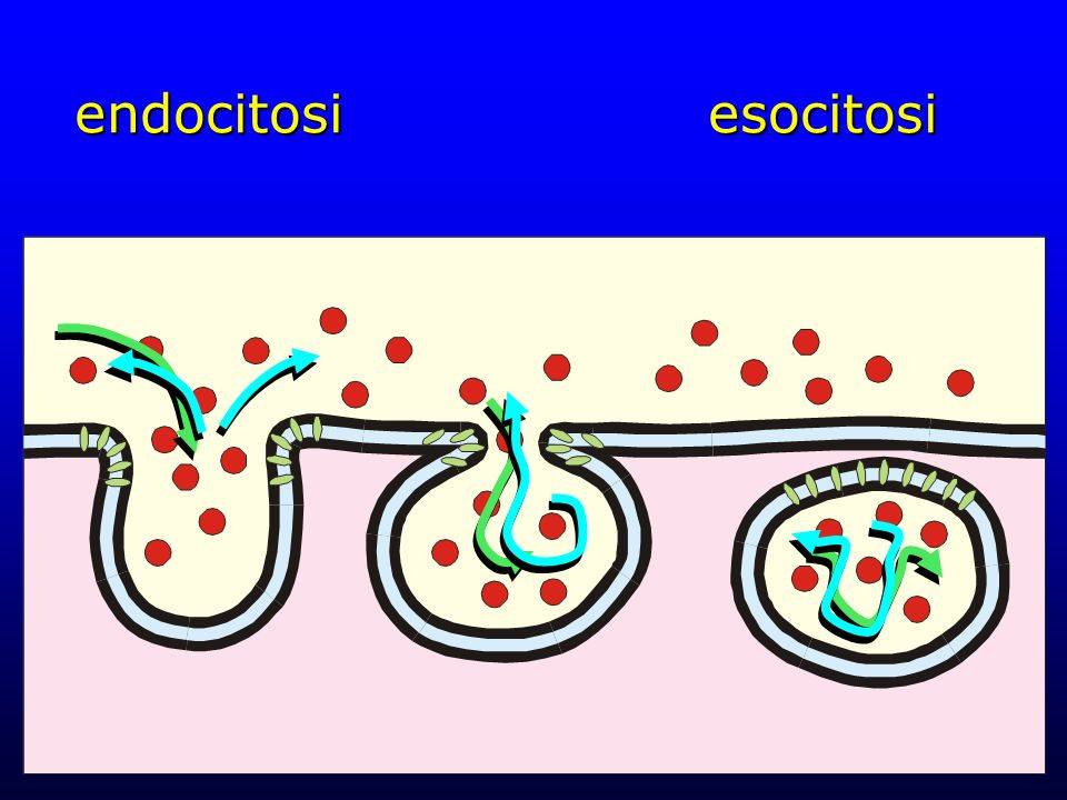 endocitosi esocitosi