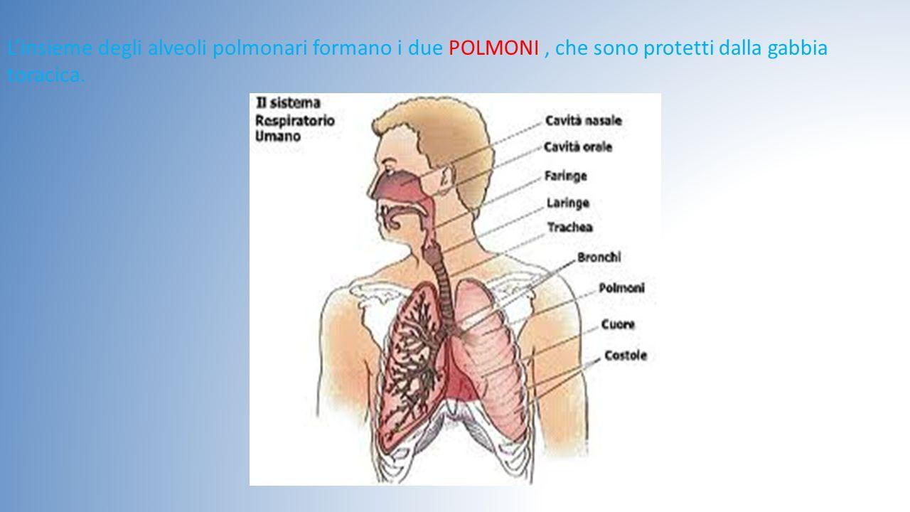 L'insieme degli alveoli polmonari formano i due POLMONI , che sono protetti dalla gabbia toracica.