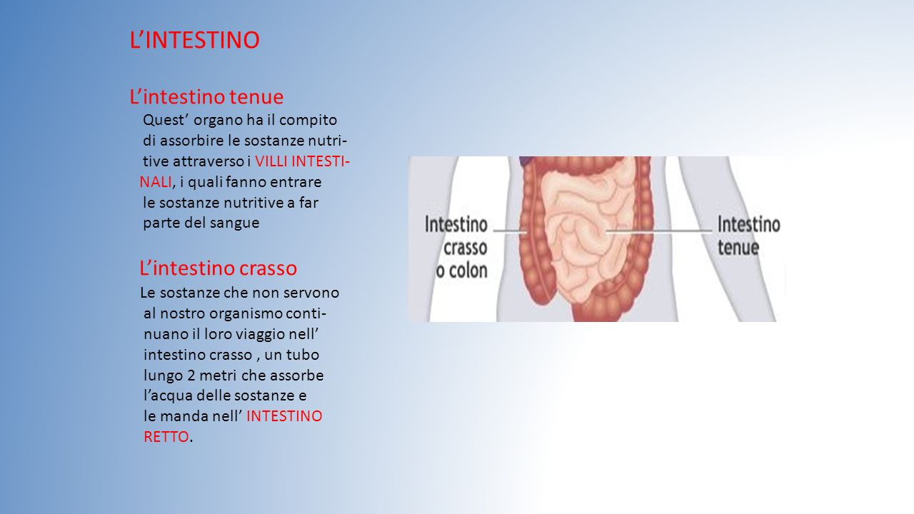 L'INTESTINO L'intestino tenue L'intestino crasso