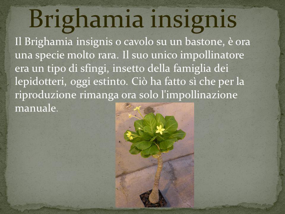 Brighamia insignis