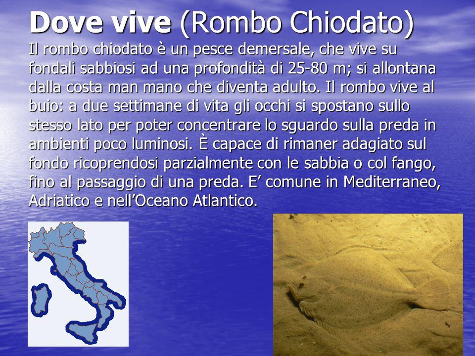 Dove vive (Rombo Chiodato) Il rombo chiodato è un pesce demersale, che vive su fondali sabbiosi ad una profondità di 25-80 m; si allontana dalla costa man mano che diventa adulto.