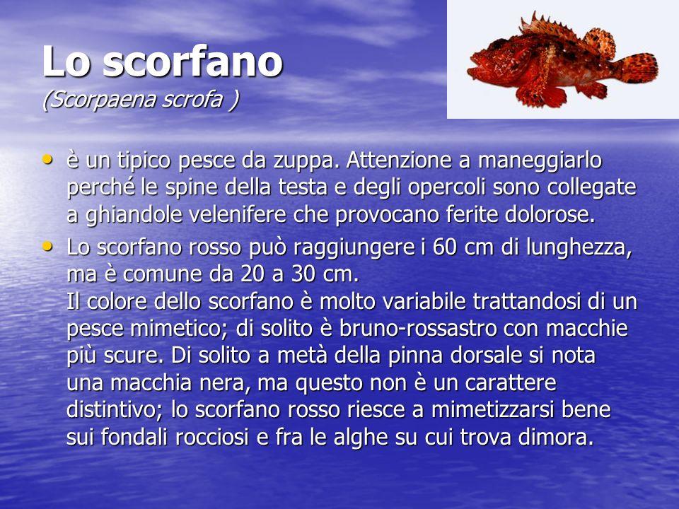Lo scorfano (Scorpaena scrofa )