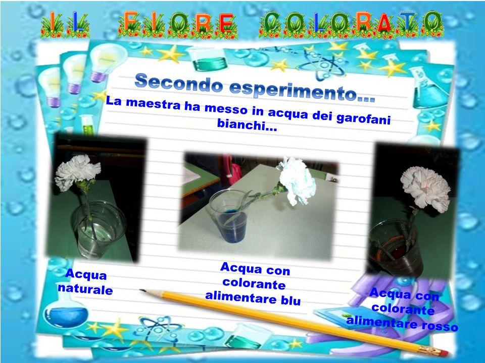 Secondo esperimento… La maestra ha messo in acqua dei garofani bianchi… Acqua con colorante alimentare blu.