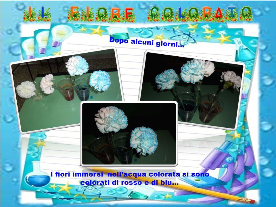 Dopo alcuni giorni… I fiori immersi nell'acqua colorata si sono colorati di rosso e di blu…