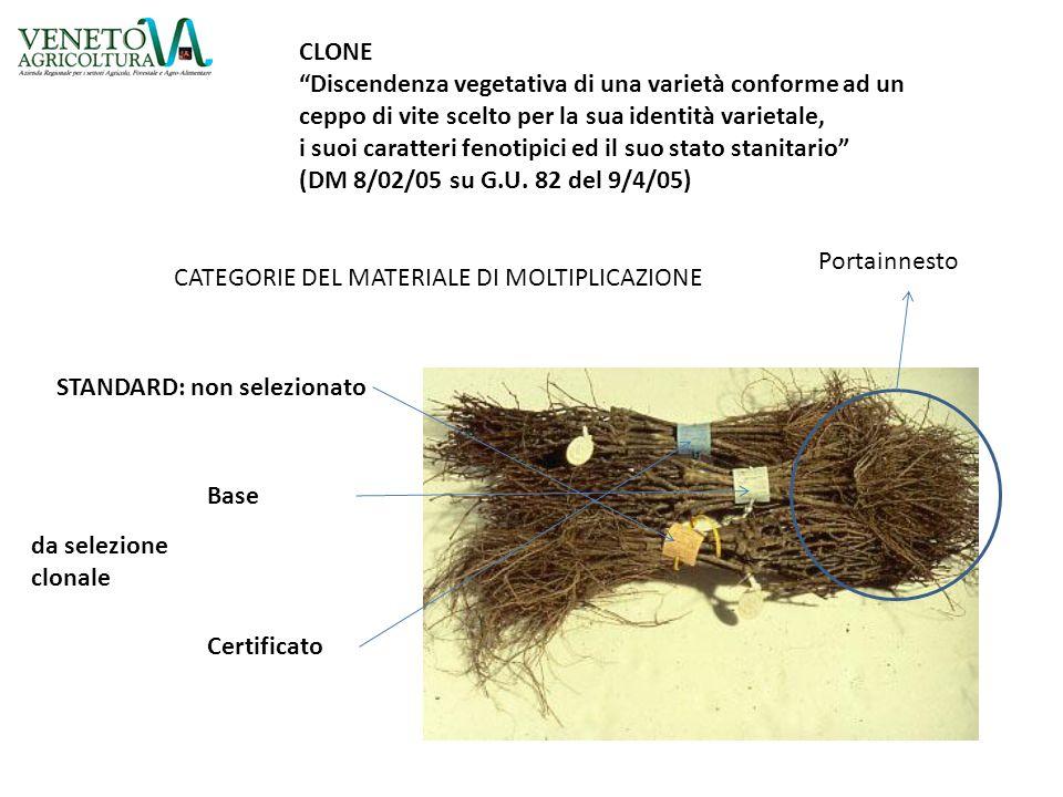 CLONE Discendenza vegetativa di una varietà conforme ad un. ceppo di vite scelto per la sua identità varietale,