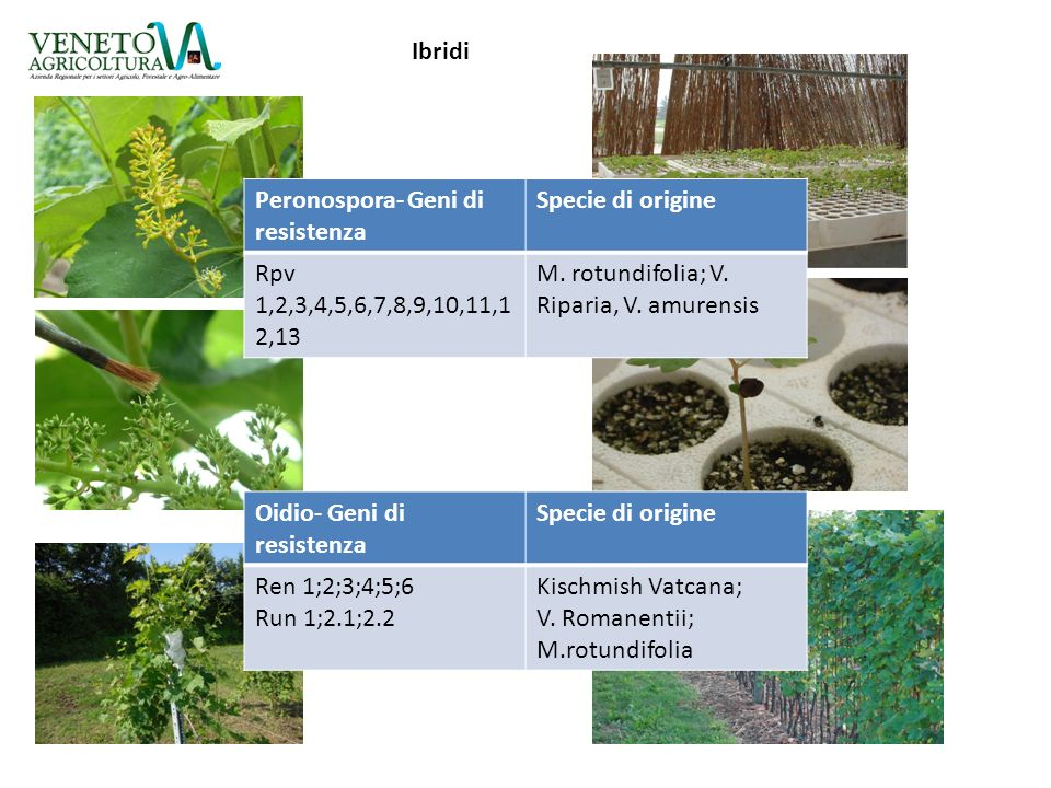 Ibridi Peronospora- Geni di resistenza. Specie di origine. Rpv 1,2,3,4,5,6,7,8,9,10,11,12,13. M. rotundifolia; V. Riparia, V. amurensis.