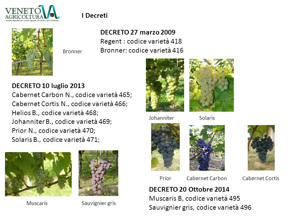 Regent : codice varietà 418 Bronner: codice varietà 416