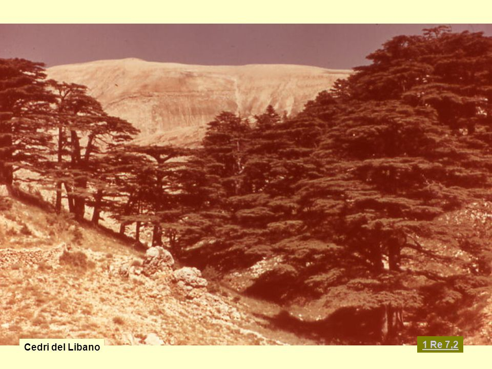 Cedri del Libano 1 Re 7,2