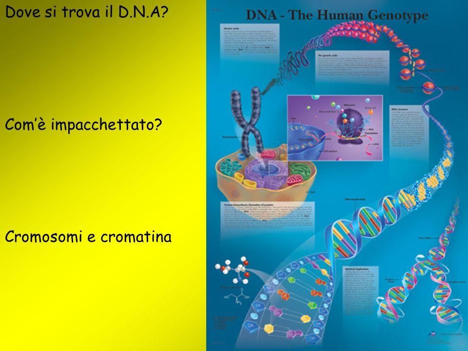 Dove si trova il D.N.A Com'è impacchettato Cromosomi e cromatina