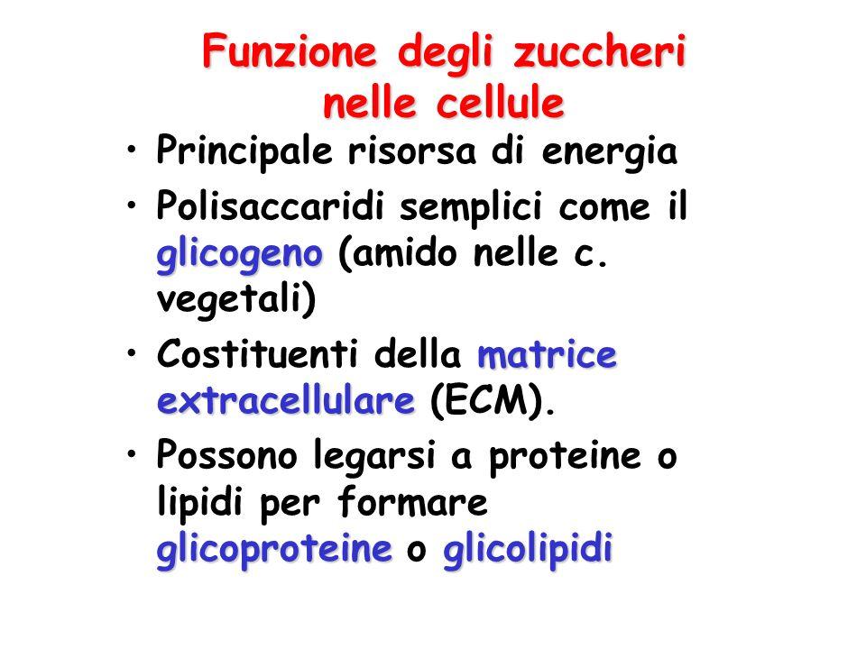 Funzione degli zuccheri nelle cellule