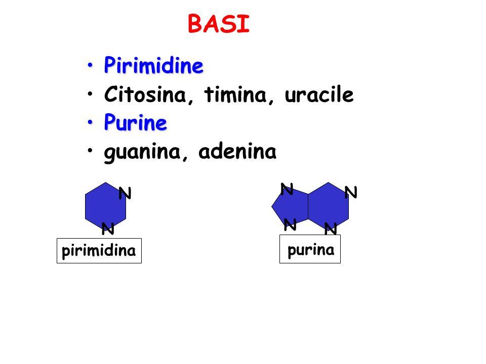 BASI Pirimidine Citosina, timina, uracile Purine guanina, adenina N N