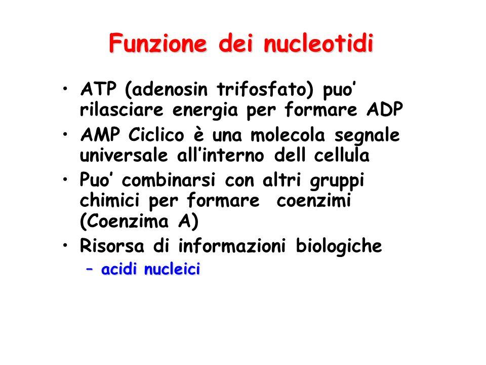 Funzione dei nucleotidi