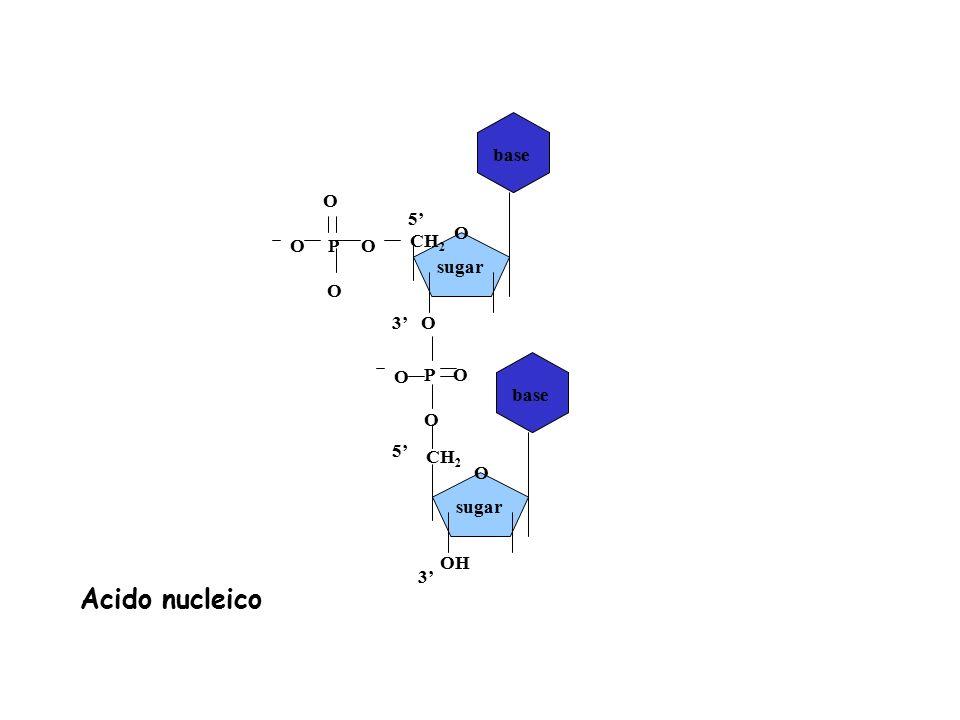 Acido nucleico base O 5' O P O O CH2 sugar 3' P O O O base 5' CH2 O